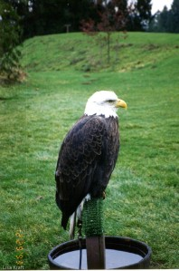 Eagle at the zoo