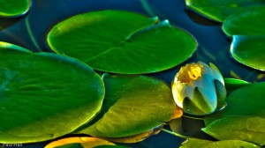 Water Lily at Marymoor Park