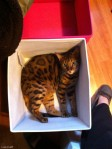 Bengal in a box
